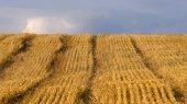 Причерноморское зерно займет пятую часть мирового рынка