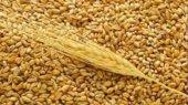 Минсельхоз США: Украина в этом году экспортирует не более 7 млн. тонн пшеницы