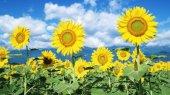 """Правительство организует """"аграрные рейды"""" в поисках лишнего подсолнечника на полях"""