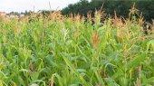 Украина может стать второй в мире по экспорту кукурузы
