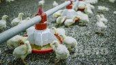 """Как производят курятину на крупнейшем птицекомплексе """"Мироновского хлебопродукта"""" (ФОТО)"""