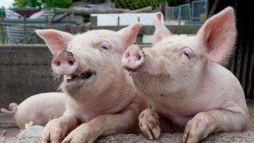 ЕБРР выделит крупному производителю свинины кредит в $30 млн | АПК | Дело
