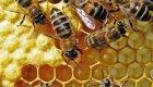 Ученые доказали, что мед лучше антибиотиков
