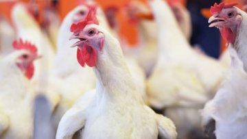 Союз птицеводов Украины надеется увеличить квоту на поставку курятины в ЕС в 2-3 раза | АПК | Дело
