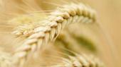 ФАО снизила прогноз мирового производства зерна в 2014 году