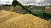 Украина экспортировала 35 млн тонн зерна, а МАУ открыла новые рейсы из Одессы