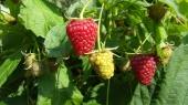 """""""Мрия"""" инвестирует 0,5 млн грн в ягодный кооператив"""