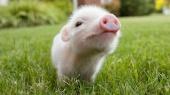 В Великобритании разрешат выращивать животных с органами человека