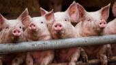 Крупный производитель свинины выходит на грузинский рынок