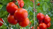 Крупнейший производитель томатной пасты построит завод за $50 млн