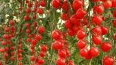 Цены на помидоры упали на треть