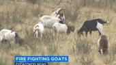 Пожарные Калифорнии взяли в помошники 450 коз