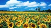 Украина наращивает производство подсолнечного масла