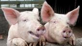 Беларусь запретила поставки свинины еще из одного региона Украины